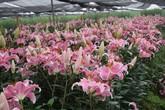 Hà Nội: Nông dân làng hoa Tây Tựu ngậm ngùi nhìn hoa ly tàn đúng lúc tăng giá