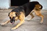 Hà Nội: 2 con chó béc-giê cắn vào chỗ hiểm, đoạt mạng ông chủ 49 tuổi