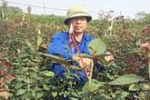 Bỏ lúa trồng hoa hồng, thu hơn 30 triệu đồng/sào