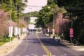 Ngắm hoa mai anh đào nhuộm hồng đường phố Đà Lạt