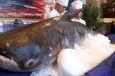 Hà Tĩnh: Đổ xô đến xem cá tra dầu 'khủng' 156 kg giá trăm triệu của nhà hàng