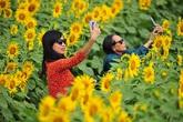 Những vườn hoa hướng dương đang nở rộ lại trở thành điểm check in mới của các chị em ở Hà Nội