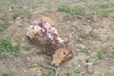 Trộm bò rồi đưa vào vườn cây xẻ thịt