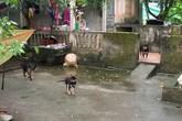 Hé lộ thông tin về đàn chó cắn bé trai 7 tuổi tử vong ở Hưng Yên