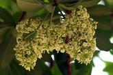 Giữa cái nắng gay gắt mùa hè, nhiều gốc hoa sữa ở Thủ đô bất ngờ trổ bông