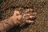 Kinh hãi người đàn ông Thổ Nhĩ Kỳ để 10kg ong bám trên cơ thể