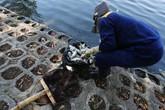Hà Nội: Hồ Trúc Bạch bất ngờ xuất hiện tình trạng cá chết hàng loạt