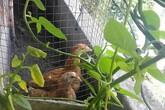 Khó tin với hoa trái xum xuê, gà đẻ trứng trên ban công chung cư Sài Gòn