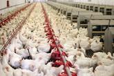 """Giá gà công nghiệp rẻ hơn rau, chị em đua nhau làm món dễ """"đưa cơm"""" mùa thu"""