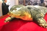 """Tiêu bản """"cụ rùa"""" Hồ Gươm chết năm 2016 chính thức trưng bày phục vụ khách tham quan"""