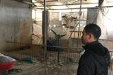 Hà Nội: Phải tiêu hủy 214 con lợn mà chưa được nhận tiền hỗ trợ, người dân có nguy cơ mất Tết