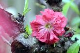 Đầu năm Canh Tý, ngất ngây ngắm hoa đào tiến vua mang may mắn, tài lộc và sức khỏe