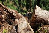 """Yên Bái: Khu bảo tồn loài sinh vật cảnh """"chảy máu"""", gỗ quý bị chặt hạ, xẻ hộp la liệt"""