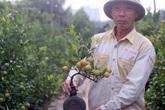 Quất bonsai trĩu quả trồng trong vò rượu khiến nhiều người săn lùng chơi Tết