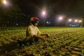 Người dân vùng lũ tỉnh Quảng Bình chong đèn trồng hoa Tết