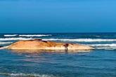 Xác cá voi nặng hơn 10 tấn trôi dạt vào bờ biển Hà Tĩnh