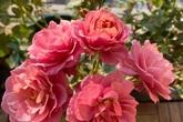 Mẹ Hà Nội chia sẻ bí quyết tự mua phụ kiện tạo nên vườn hồng đẹp mê ly ở ban công