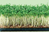 Rủi ro ít ngờ tới từ rau mầm trồng tại nhà khiến rau lành thành độc