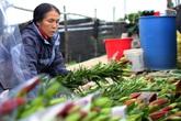 Hà Nội: Hoa tươi rẻ chạm đáy, nhiều nông dân Tây Tựu thua lỗ