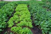 Giữa mùa dịch, gia đình 4 người lớn ở Hà Đông, Hà Nội tiêu chỉ hết 1,5 triệu đồng/tháng nhờ thắt chặt chi tiêu và ăn thực phẩm vườn nhà