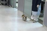 Cảm động cảnh mèo mẹ tha con đến bệnh viện nhờ giúp đỡ