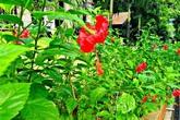 Khó ai ngờ thứ hoa trồng đầy ngoài đường và bờ rào này là loại thuốc quý chữa trĩ và sa sinh dục hiệu quả, không mất tiền