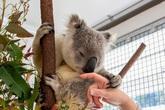 Koala có thể giúp con người chống lại căn bệnh tình dục phổ biến nhất