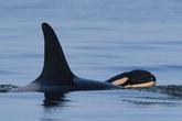 Hai năm sau lần mang xác con 17 ngày, cá voi mẹ đã sinh nở