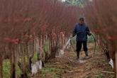 Hà Nội: Rét kỷ lục, nông dân Nhật Tân lo ủ ấm cho đào kịp phục vụ Tết Nguyên đán