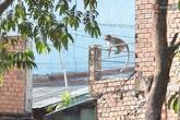 """Cận cảnh đàn khỉ """"đại náo"""" khu dân cư ở Sài Gòn khiến người dân mệt mỏi"""