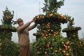 Cận cảnh vườn 'quýt lục bình' khổng lồ phục vụ Tết cổ truyền của lão nông Hưng Yên