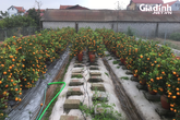 Giảm 60% giá vẫn ế ẩm, hàng ngàn gốc quất ở Văn Giang (Hưng Yên) chực chờ nhổ bỏ