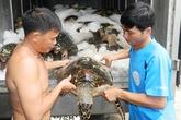 Hiểm họa từ những chuyến săn rùa biển