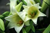 4 nhà sư nhập viện vì ăn hoa loa kèn