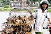 Khẩn cấp ngăn cúm H7N9 vào Việt Nam