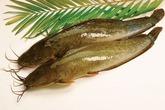 Tác dụng chữa bệnh không ngờ từ cá trê