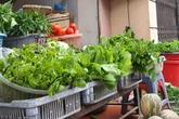 Nguy cơ nhiễm độc cao từ rau ngót