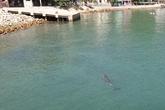 Cá heo xuất hiện tại lễ hội cầu ngư