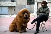 Đại gia chi 17 tỷ đồng để mua một chú chó về nuôi