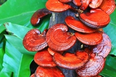 Trà nấm Lincha – Chăm sóc sức khỏe cho giới trẻ