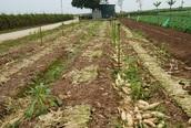 Nông dân Hà Nội cũng khổ sở khi giá nông sản rớt thảm vì COVID-19