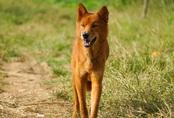 Hồi sinh giống chó săn cổ quý hiếm lừng danh đất Việt
