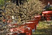 Lượng khách mua mai Tết giảm mạnh, nhà vườn lo thất thu