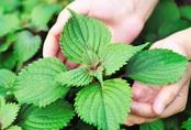 Trị nám da giá 0đ bằng 2 loại lá quen thuộc trong vườn nhà: Để hiệu quả, tránh tác dụng phụ chị em nên nhớ lưu ý của BS da liễu