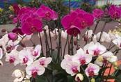 """Cùng nghe chị bán hoa lan 10 năm hướng dẫn cách chọn hoa đẹp """"chuẩn chỉnh"""" cho ngày Tết"""