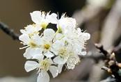 Cấm chặt đào rừng, hoa mận rừng siêu đắt vẫn được dân Hà thành vung tiền để chơi Tết