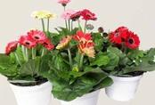 Những loại hoa hợp phong thủy được người Việt chọn trong ngày Tết để hút tài lộc