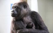 Xúc động cảnh khỉ mẹ nựng khỉ con như người
