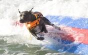 Màn trình diễn lướt sóng có một không hai của các chú chó tại bãi biển Huntington