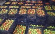 Siêu thị gánh lỗ cho người dân trồng cà chua ở Đà Lạt, Lâm Đồng